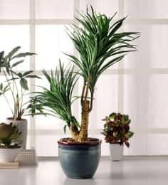 https://cdn0.desidime.com/attachments/photos/522265/medium/5106483fourwalls-premium-range-yucca-in-ceramic-vase-fourwalls-premium-range-yucca-in-ceramic-vase-tenyim.jpg?1531320525