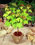 Decorative plants and trees  seeds starts at Rs 29